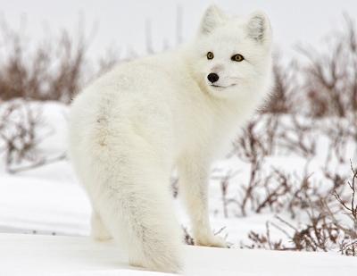 arctic-fox-canada-400x309